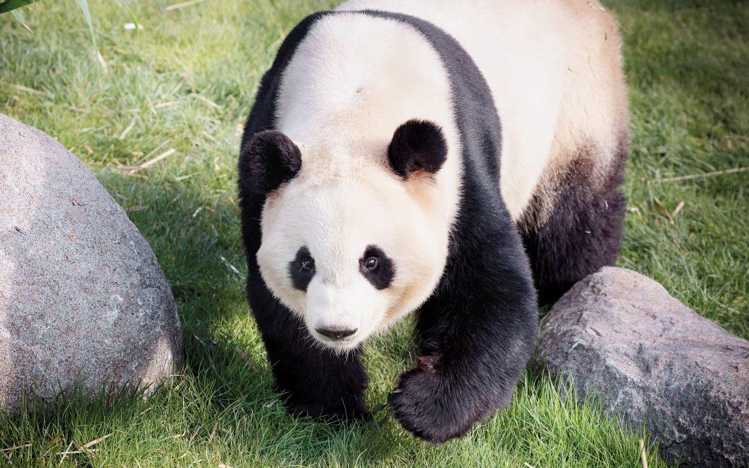 Konkurrence: Se pandaerne i ZOO – vind billetter!